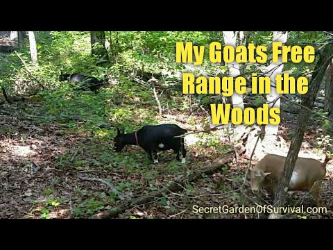 My Goats Free Range in the Woods