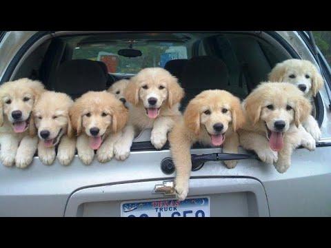 Funniest & Cutest Golden Retriever Puppies Compilation #2 - Funny Puppy Videos 2020 - UC2GoSYOuzaq7g82Snpapwrw