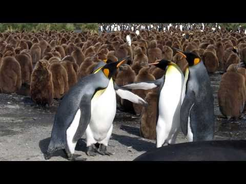 King Penguins Fighting