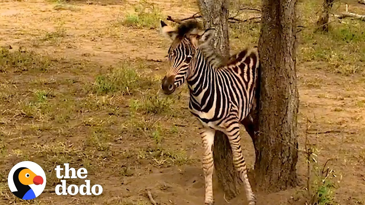 Rescued Baby Zebra Can't Wait To Reunite With Mom and Dad | The Dodo