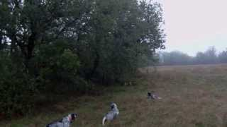 Chasser avec plusieurs chiens