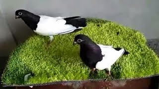 most beautiful pigeon in Magura District | fancy pigeon in bangladesh