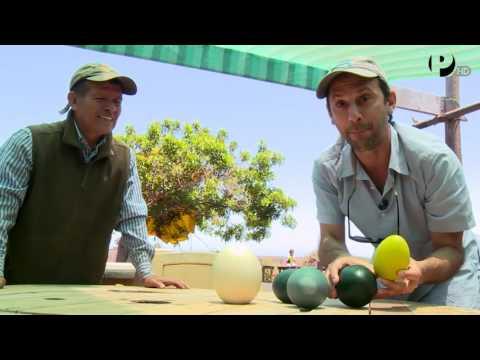 Desde el Jardín - Lambayeque - Criadero de Aves Gigantes  - Huevos gigantes - UCKc2cPD5SO_Z2g5UfA_5HKg