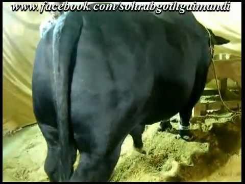 Shah Cattle Farm 2016 Sohrab Goth Mandi