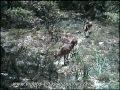 Mouflons de jour