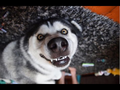 Funny Alaska Malamute And Husky Talking And Howling Videos Compilation | Laugh TV - UCv2D074JIyQEXdjK17SmREQ