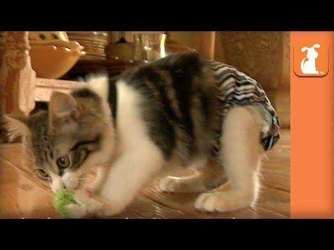 Special Needs Manx Kitten Finds His Forever Home In Arizona - Bebe's Roadtrip - UCPIvT-zcQl2H0vabdXJGcpg