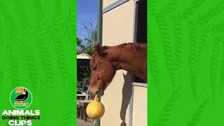 Horse Playing With A Balloon | Animals Doing Things Clips