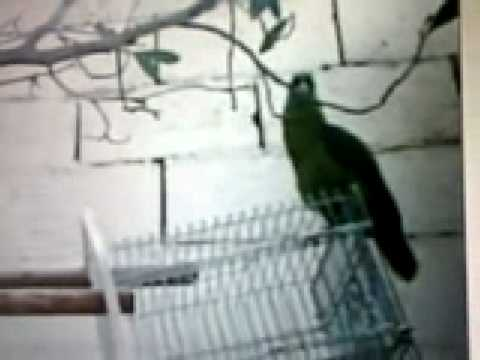A Parrot Reciting Suratul Ikhlas