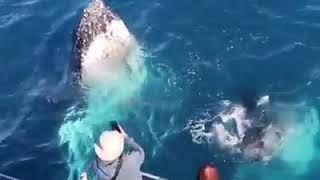 Spirit Of Hervey Bay Whale