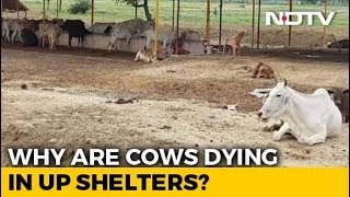 Despite Rs. 600-Crore Budget, Cattle Deaths Cast Shadow Over UP Shelters