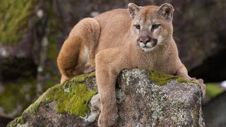 Colorado hunter fights off mountain lion with blunt pocket knife