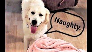 Funny Naughty Golden Retriever Puppy Dog Finn Steals My Blanket! Dog Pranks Owner!