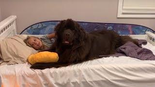 Little girl has best sleepover ever with her Newfoundland dog