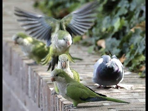 Breaking Parakeets Apocalypse Madrid Spain