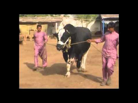Tees Mar Khan for Eid Ul Azha (Bakra Eid) 2011