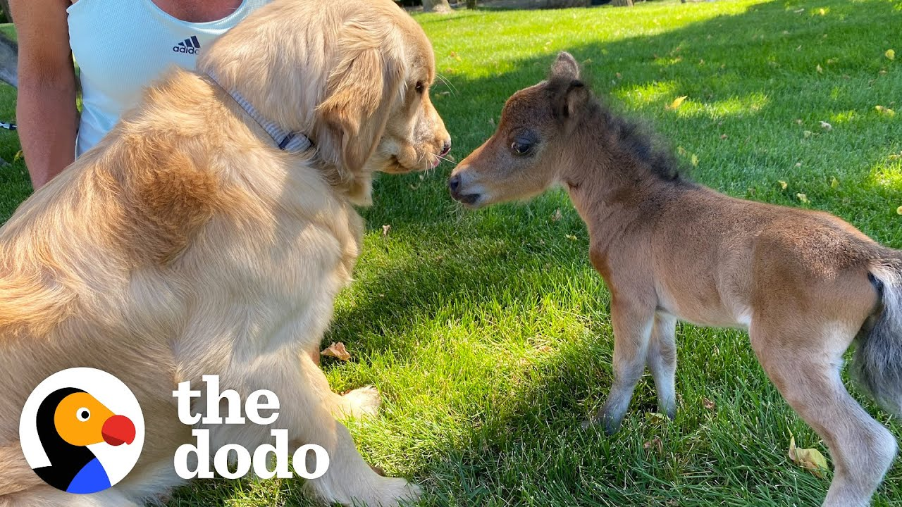 Mini Horse Tries So Hard To Make His Very First Friend | The Dodo Little But Fierce