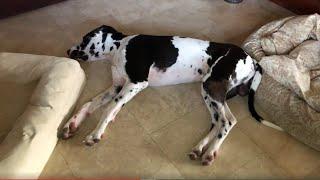 Great Dane decides to sleep in between dog beds