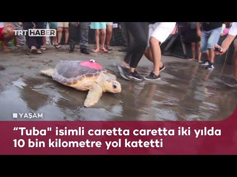 Muğla'da tedavi edilen caretta Tuba'nın Akdeniz'deki rotası kayıt altında