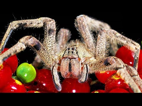 9 of the Most Vicious Spiders In the World