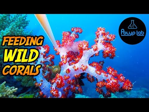 Feeding WILD Corals in Papua New Guinea with Reef Roids Coral Food