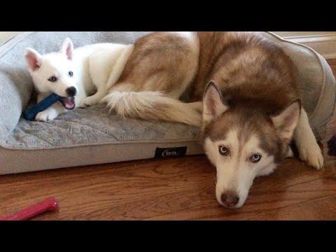 Laika finally shares her bed with Nova the Husky Puppy!