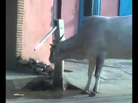 Cow using handwater Pump