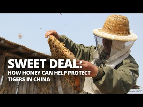 How honey can help protect tigers in northeast China