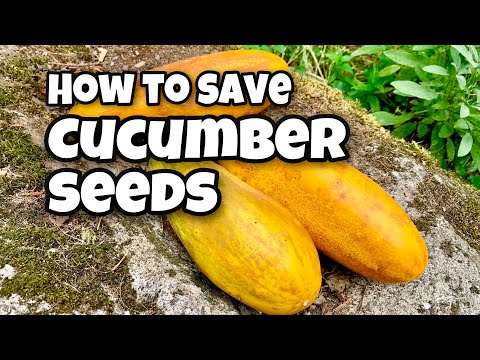 How to Save Cucumber Seeds