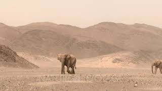 Desert elephant (Loxodonta africana) walking in Hoanib desert with wind blowing sand