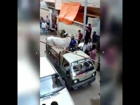 Qurbani Cow Run Away During Unloading
