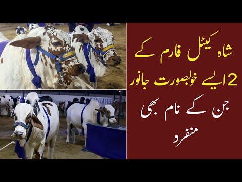 Karachi Gaye Mandi | Shah Cattle Farm 2021 Collection