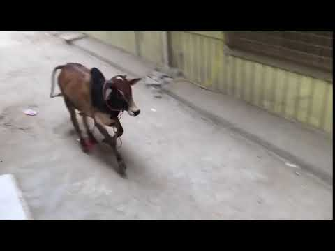 Sacrificial Cow Run Away In Karachi During Unloading
