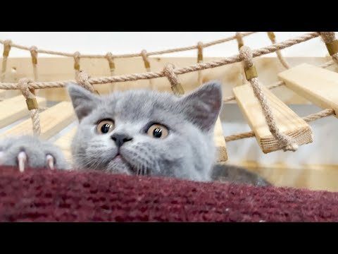 """😂 Incredibly Cute Kittens Accepted New Challenge """"Hold On a Beam""""👍British Shorthair Funny Cat Videos - UCKk5rVfHXrURQUY3oTHvqhA"""
