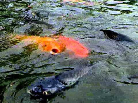 umpa mancing ikan mas di kolam air hijau