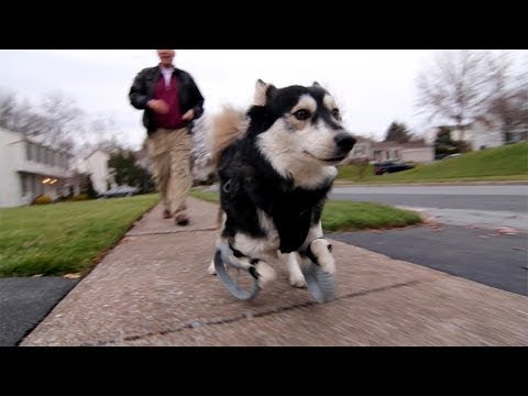 Derby the dog: Running on 3D Printed Prosthetics - UCsx-A5uSO_gYgi5A4RXFCag
