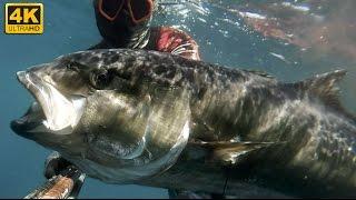 Chasse sous marine - Seriole 50KG - Big Fish - 2016