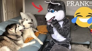 Pranking My Huskies By Becoming a Husky! [PRANK] [BEST REACTION EVER!]