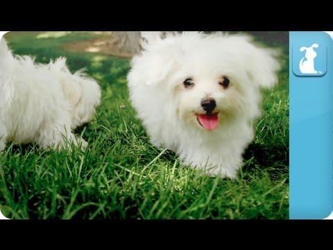 Puppy Love - Maltese - UCPIvT-zcQl2H0vabdXJGcpg