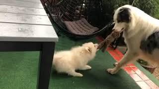 Little Pomeranian Tries Snatching Soft Toy from Australian Shepherd - 1063993