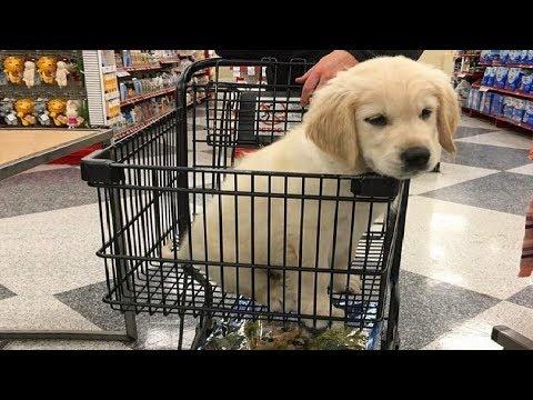 Funniest & Cutest Golden Retriever Puppies #21 - Funny Puppy Videos 2019 - UCbHvtJxBXUzpB_iXfJLIvjA