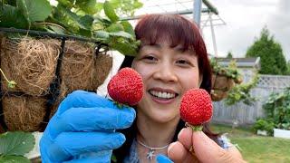 Hái Dâu Tây Ăn Ngay Tại Chổ, Thu Hoạch Cà Tây và Đậu Que   Vườn Rau Việt 🇨🇦374》Eating Strawberries