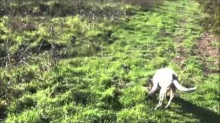 Chasse aux lapins avec Setter Anglais