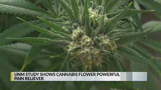UNM study examines effectiveness of cannabis for treating pain