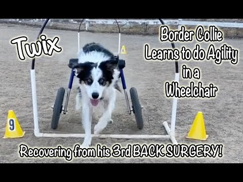Twix does Hoopers in his Wheelchair: Border collie 3 back surgeries