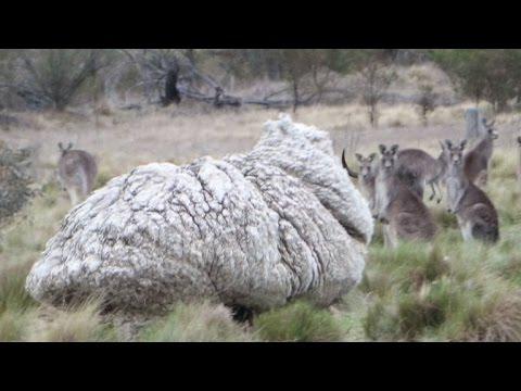 Rekord-Schaf um gut 40 Kilo Wolle erleichtert