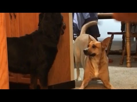 Dog Persuades Newly Adopted Rottweiler to Play With Him