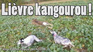 Lièvre kangourou