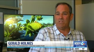 Central Coast strawberry industry could add 5 new varieties this fall