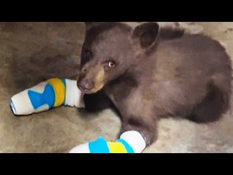 Bear Cub With 4 Burned Paws Escapes Rescue Facility